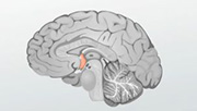 01_hypothalamus